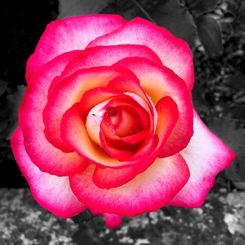 Citou Rose