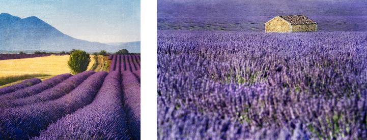 Provençal lavender