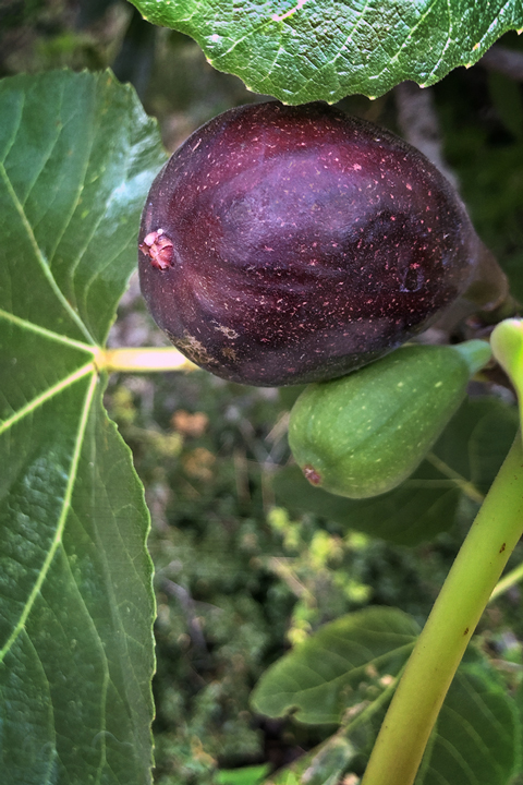 Fig First Flower