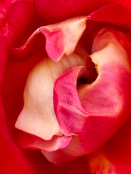 Canal Rose